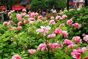 Le più belle peonie del mondo in live streaming a Luoyang